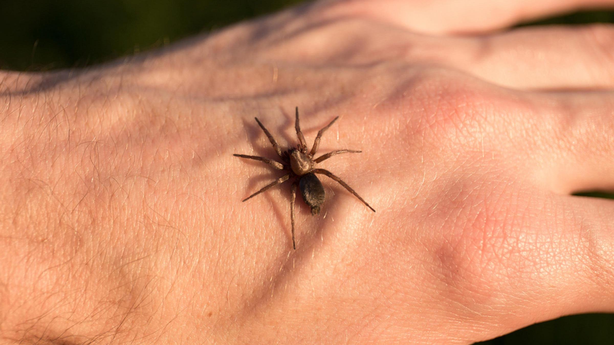 morso di ragno
